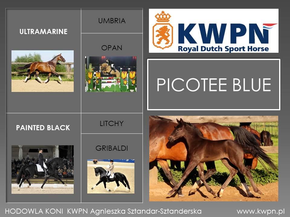 17. Picotee Blue